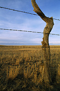 Tree Lines Art - Barbed Wire Fence Along Dry Creek Road by Gordon Wiltsie
