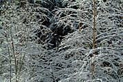 Bare Trees Prints - Bare tree branches covered in snow Print by Sami Sarkis