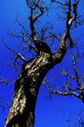 Bare Trees Posters - Bare tree trunk against a blue sky in springtime Poster by Sami Sarkis