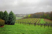Wine Vineyard Photo Originals - Bare Vineyard by Robert Smith