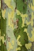 Barks Prints - Bark Of A Sycamore Tree Print by Mike Grandmailson