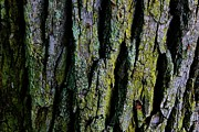 Tree Lines Prints - Bark Softly Print by Toni Jackson