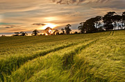 Derek Smyth - Barley Field Sunset