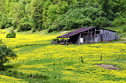 Buttercups Prints - Barn and Buttercups Print by Thomas R Fletcher