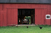 Cheryl Cencich - Barn and chicks