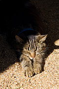 Asheville Posters - Barn Cat in the Sun Poster by Dawna  Moore Photography