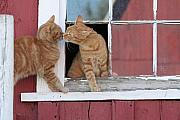Kitties Prints - Barn Cats Print by Laurie With