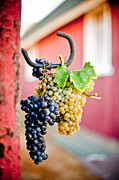 Syrah Photo Metal Prints - Barn hangout Metal Print by Kristine Ellison