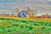 Shed Prints - Barn in Field of Flowers Print by Geary Barr
