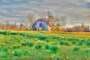 Barn In Field Of Flowers Print by Geary Barr