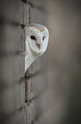 Owl Posters - Barn Owl Poster by Andy Astbury