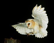 Airborne Posters - Barn Owl Poster by Andy Harmer and SPL and Photo Researchers