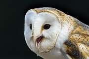 Open-mouthed Posters - Barn Owl Calling Poster by Linda Wright