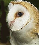 Barbara Middleton Prints - Barn Owl Close-up Print by Barbara Middleton
