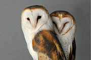 Barn Owls Prints - Barn Owl Couple Print by Sue Jarrett