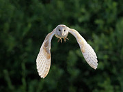 Flying Wild Bird Prints - Barn Owl Flying Print by Tony McLean