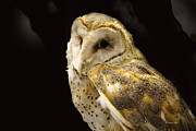 Wildlife Genre Prints - Barn Owl In A Dark Tree Print by Roena King