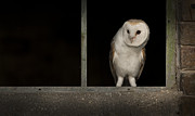 Andy Astbury - Barn Owl in Window