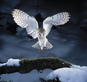Bird In Snow Prints - Barn Owl Landing Print by Manfred Danegger and Photo Researchers