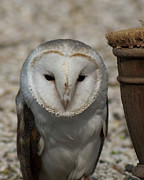 D5000 Prints - Barn Owl Print by Matt Steffen
