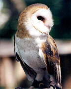 Audubon Zoo Posters - Barn Owl Poster by Michelle Mark