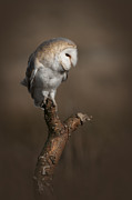 Barn Owl Prints - Barn Owl on the Lookout Print by Andy Astbury