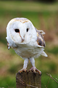 Pete Reynolds Metal Prints - Barn Owl Metal Print by Pete Reynolds