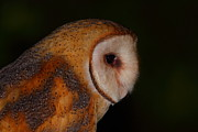 Owl Metal Prints - Barn Owl Profile Metal Print by Bruce J Robinson