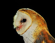 Ramona Johnston Framed Prints - Barn Owl Profile Framed Print by Ramona Johnston