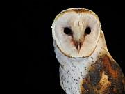 Ramona Johnston - Barn Owl