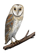 Wings Drawings - Barn owl Screech owl Tyto alba - Effraie des clochers- lechuza comun- Tornuggla - Nationalpark Eifel by Urft Valley Art