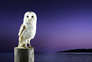 Bird At Sea Photos - Barn Owl Standing On Log With Sunset Background by Michael Blann