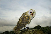 Barn Owl Print by Sue Fulton