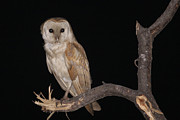 Nocturnal Animal Prints - Barn Owl Tyto alba Print by Alon Meir
