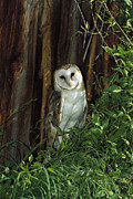 Three-quarter Length Prints - Barn Owl Tyto Alba Portrait, North Print by Konrad Wothe