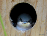 Baby Bird Posters - Barn Swallow Chick Poster by DigiArt Diaries by Vicky Browning