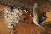 Swallow Posters - Barn Swallows at Nest Poster by Scott  Linstead