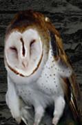 Barn With Owl Print by Debra     Vatalaro