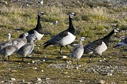 Branta Posters - Barnacle Geese With Chicks Poster by Dr Juerg Alean