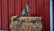 Hay Bale Framed Prints - Barnyard Cat Framed Print by Paul Ward