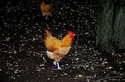 LeeAnn McLaneGoetz McLaneGoetzStudioLLCcom - Barnyard Chickens
