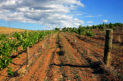 Wine Vineyard Photo Originals - Barossa Vineyard by Mike  Dawson