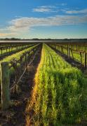 Vineyard Photo Prints - Barossa Vineyard Morning Print by Mike  Dawson