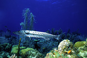 Cayman Islands Prints - Barracuda, Cayman Brac, Cayman Islands Print by Beverly Factor