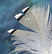 Jean Noren Framed Prints - Barred Feather Framed Print by Jean Noren