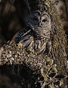 Barred Owl 5 Print by Wade Aiken