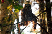 Brent L Ander Posters - Barred Owl at Sunrise Poster by Brent Ander