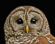 Nocturnal Animal Prints - Barred Owl Fledgling Print by Larry Linton