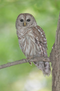 Owl Metal Prints - Barred Owl I Metal Print by Clarence Holmes