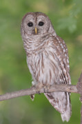 Owl Metal Prints - Barred Owl II Metal Print by Clarence Holmes